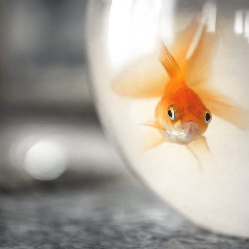 Goldfish in a bowl. Goldfish in a dirty water tank.Vintage style photo. Defocused blurry background.
