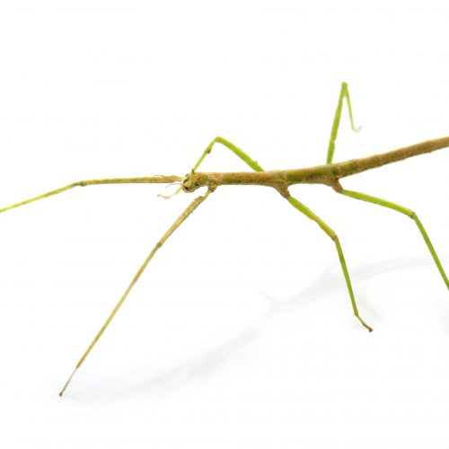 stick insect in front of white background